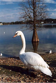 "an essay on the swans of lake morton ""coming out"" as face blind  jennifer toth published her essay  we swam in lake ontario every chance we got because it was the one permissible activity."